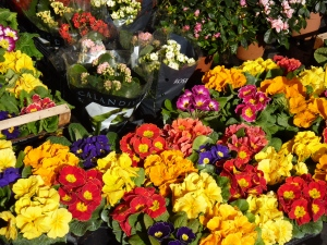 Primroses at a flower stand in Campo de' Fiori