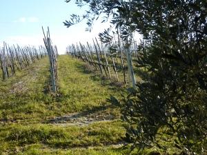 Grrape vines in winter