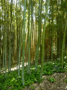 Bamboo forest (not in my yard, please!)
