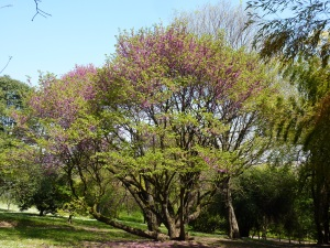 Enormous redbud